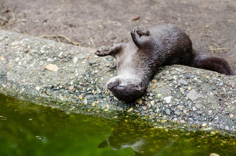 Oriental Small-clawed Otter Free Public Domain Cc0 Image