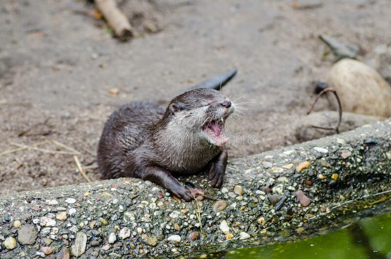 Oriental small-clawed otter royalty free stock image