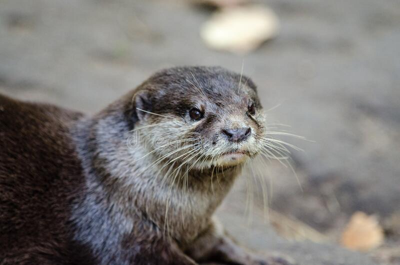 Download Oriental Small-clawed Otter Stock Photo - Image of nikon, playing: 86217644