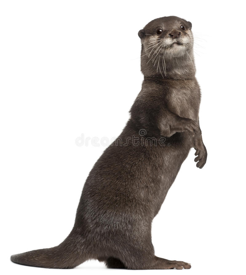 Oriental small-clawed otter, Amblonyx Cinereus. 5 years old, standing in front of white background stock photography