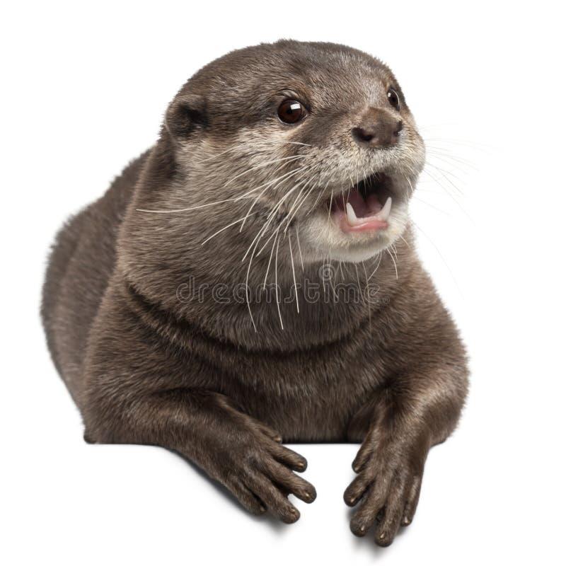 Oriental small-clawed otter, Amblonyx Cinereus stock photography