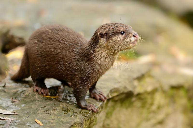 Oriental Small-clawed Otter - Aonyx cinerea royalty free stock photos
