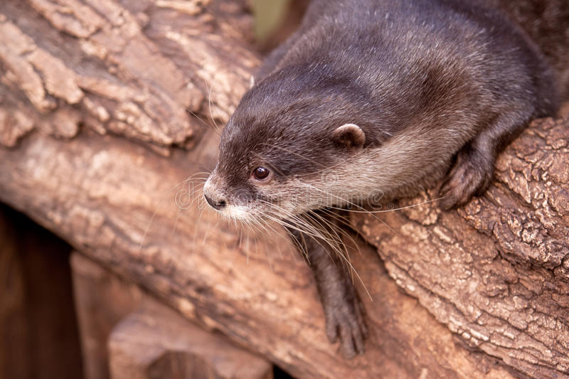 Oriental Small-clawed Otter (Aonyx cinerea) stock image