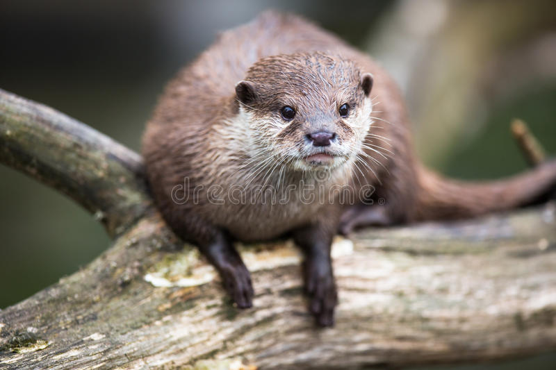 An oriental small-clawed otter / Aonyx cinerea / royalty free stock photo