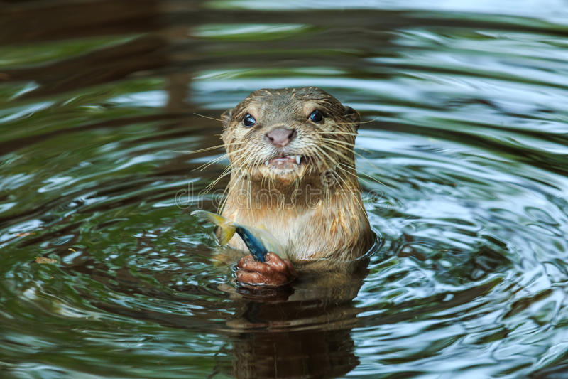 An oriental small-clawed otter , Aonyx cinerea, Asian small-clawed otter. An oriental small-clawed otter in zoo Thailand royalty free stock images