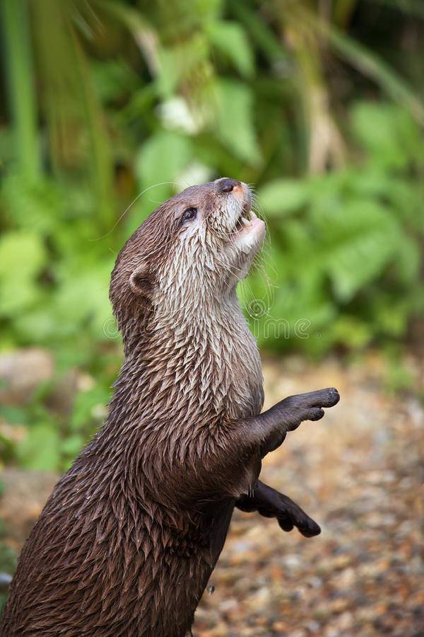 Oriental small-clawed otter. Oriental small-clawed otter standing on his hind legs. This is the smallest otter species in the world and is indigenous to the stock photography