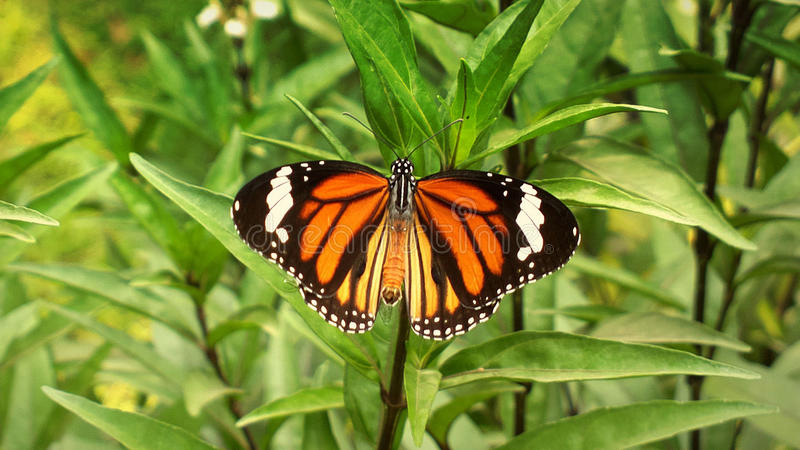 Oriental Striped Tiger Butterfly stock images