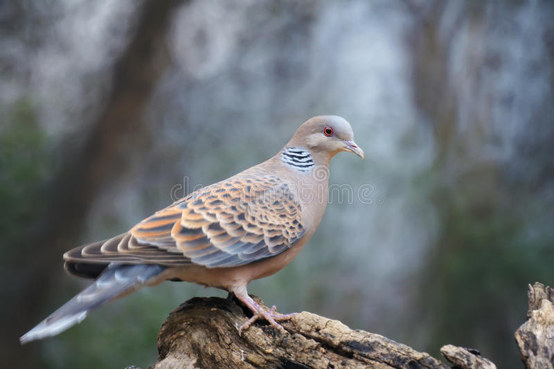 Oriental Turtle Dove. The close-up of Oriental Turtle Dove. Scientific name: Streptopelia orientalis. Shooting in southern slope of Qinling mountain, China royalty free stock photos