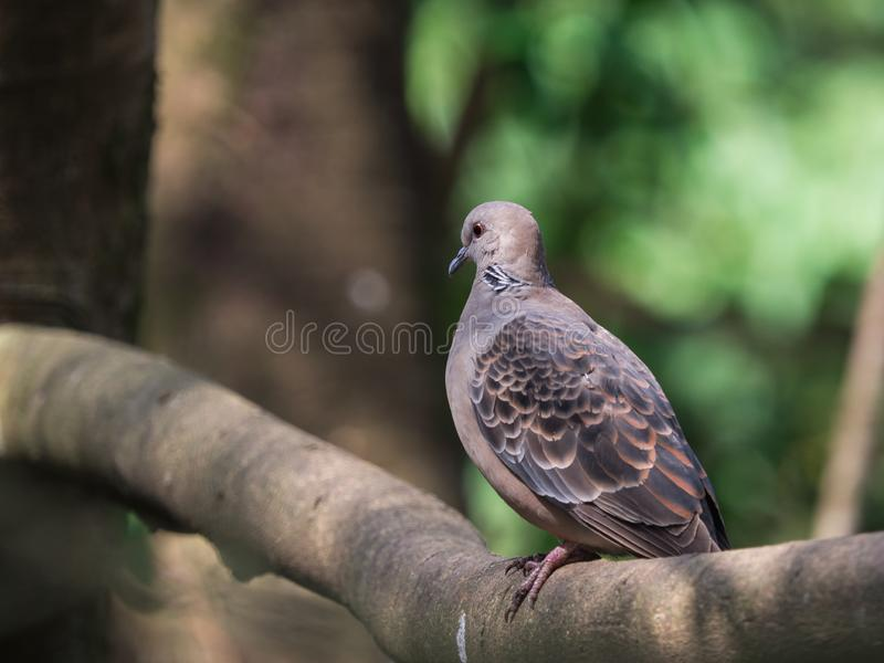 Oriental Turtle-Dove (Streptopelia orientalis) perching on a branch with green nature blurred background and copy space. royalty free stock photography