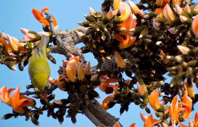 Oriental white-eye bird on Palash/Sacred Tree stock photos