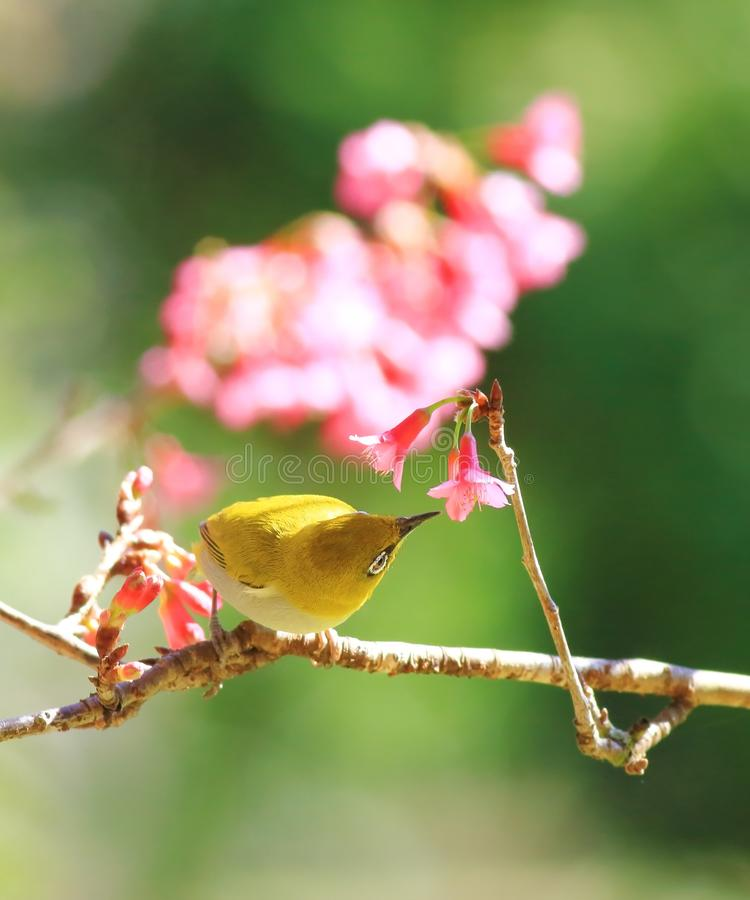 Oriental White-eye and flower royalty free stock images