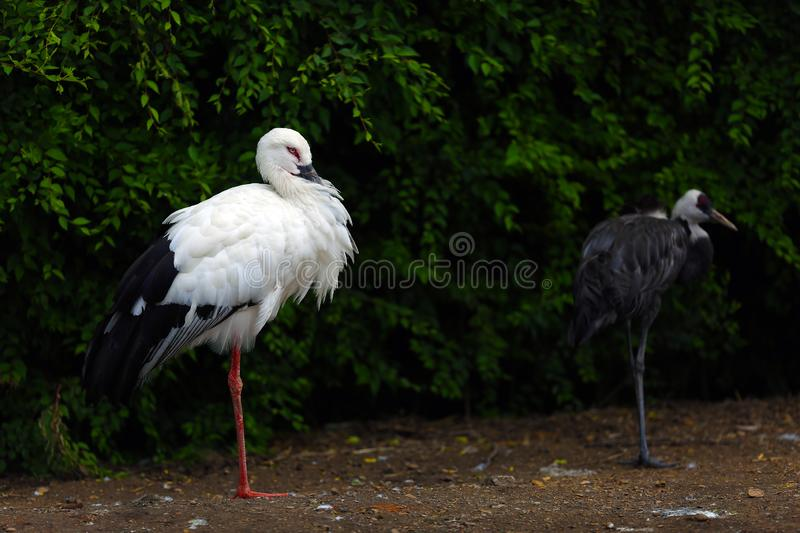 Oriental white stork under the tree. stock images