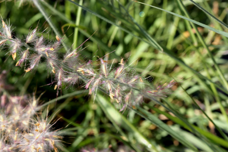 Orientale del Pennisetum, hierba de fuente de Oriente fotografía de archivo