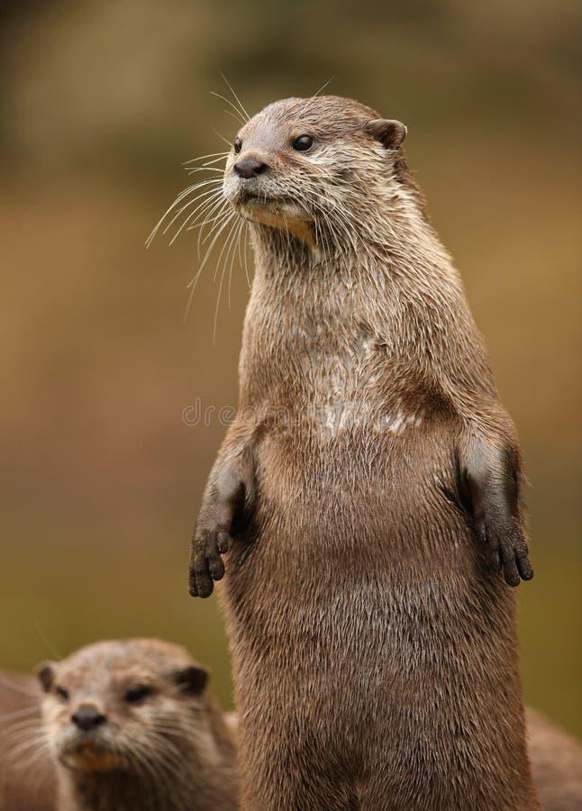 Download Orientale Kurz-Kratzte Otter Stockbild - Bild von tier, kurzschluß: 27727211