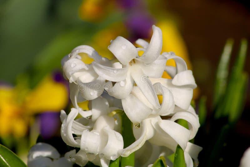 Orientalis brancos de Hyacinthus em um jardim Jacinto do jacinto - comum, o holandês ou do jardim com flores brancas imagem de stock