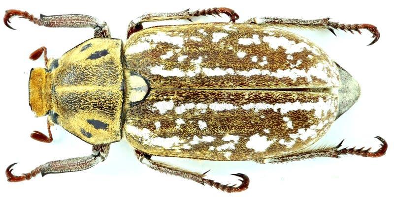 Orientalis di anossia - coleottero/scarabaeidae immagine stock