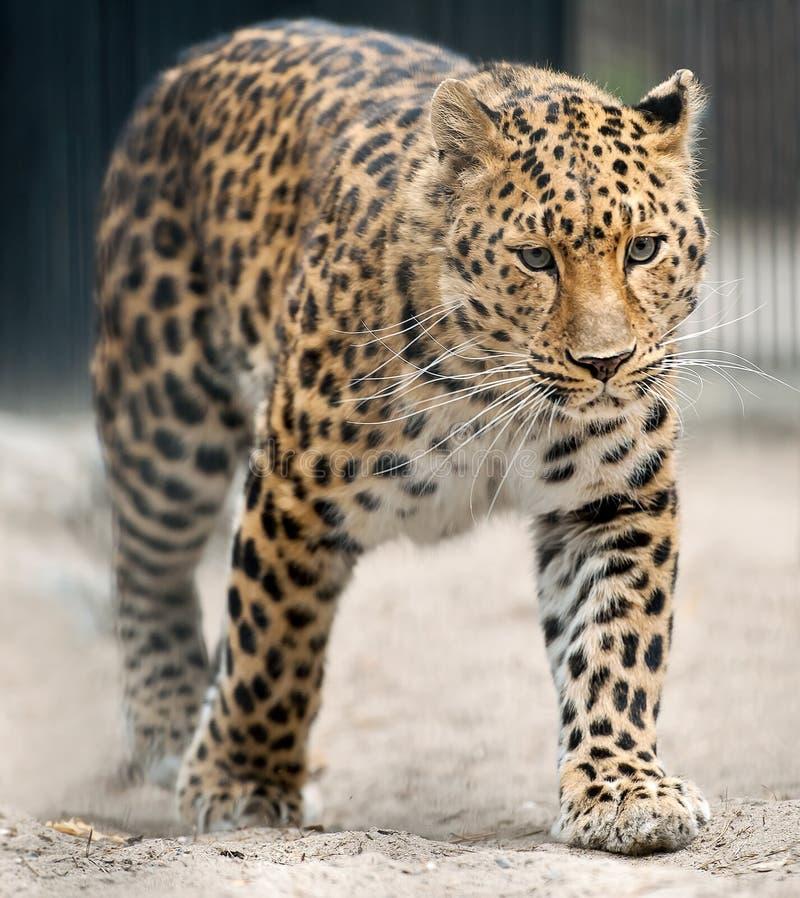 Orientalis di pardus della panthera del leopardo dell'Amur dell'adulto Specie di leopardo indigene in Russia sudorientale e Cina  fotografia stock