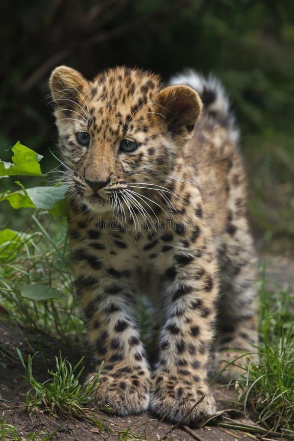 Orientalis do pardus do Panthera do leopardo de Amur fotografia de stock royalty free