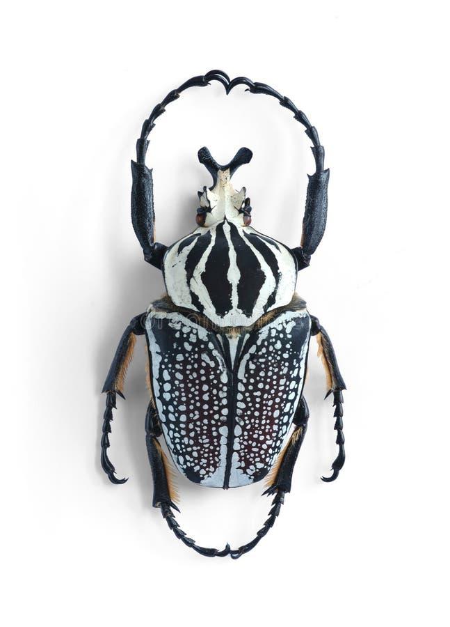 orientalis goliathus стоковое изображение