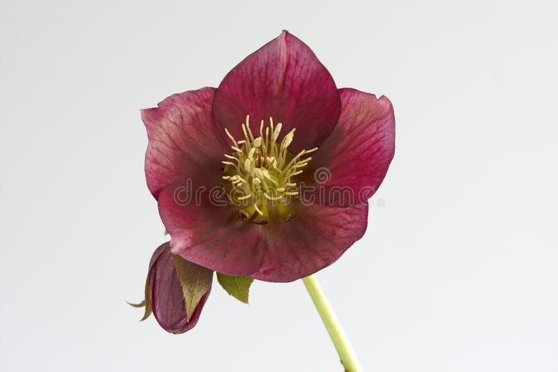 orientalis helleborus стоковая фотография rf