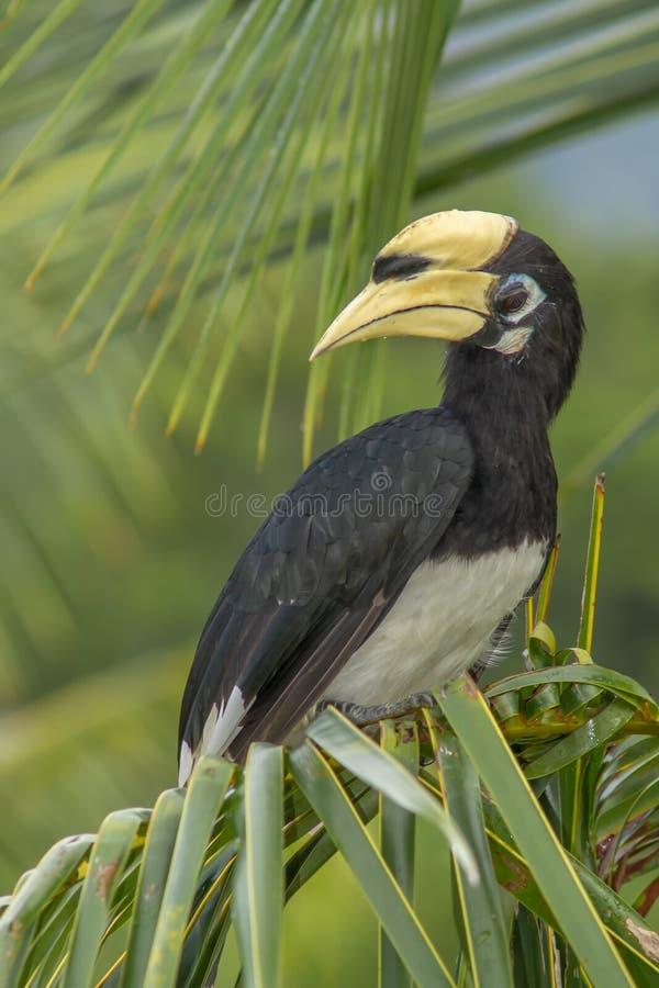 Orientalisch-Hornbill Anthracoceros albirostris in einer Palme , Langkawi, Malaysia stockfotos