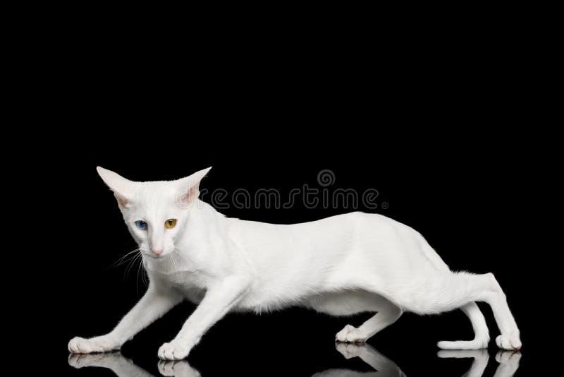 Orientalische Cat With Big Ears auf Schwarzes lokalisiertem Hintergrund stockfoto