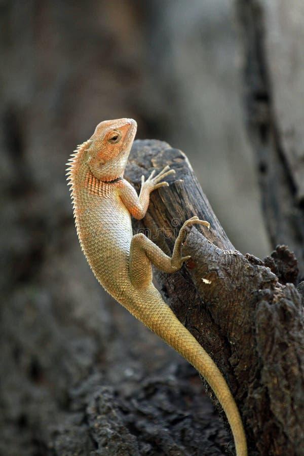 Download Orientalische Garteneidechse Stockbild - Bild von reptil, indien: 96935647