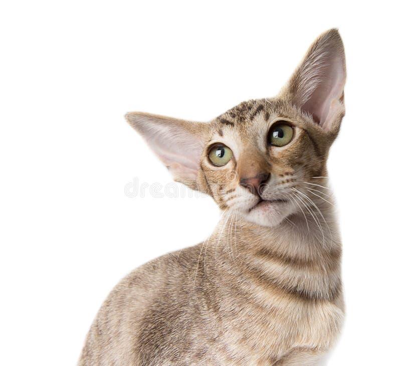 Orientalische Kätzchennahaufnahme des aufmerksamen ernsten Ingwers der getigerten Katze lokalisiert auf Weiß stockbild
