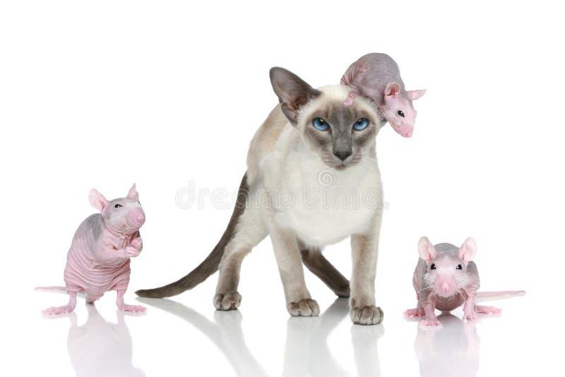 Orientalische Katze des Blue-point mit drei Ratten stockfotos