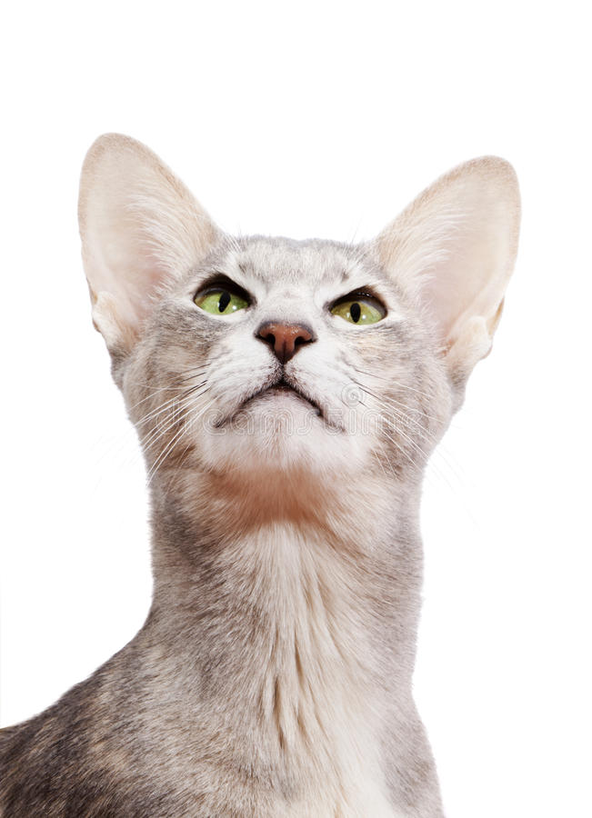 Orientalische kurzhaarige Katze arrogant schauen lizenzfreie stockfotografie