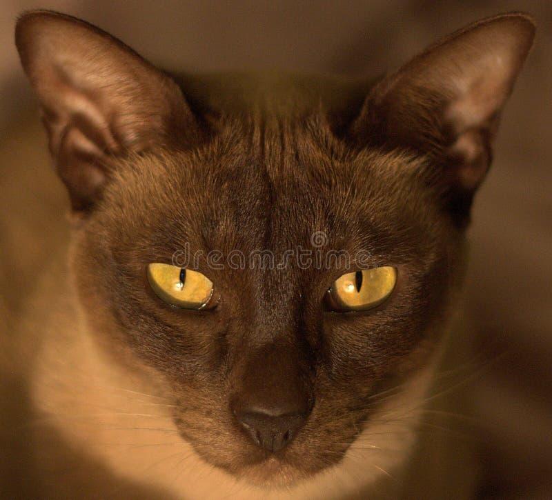 Orientalische Schokolade Tonkinese-Katze mit gold-grünem e lizenzfreie stockfotos