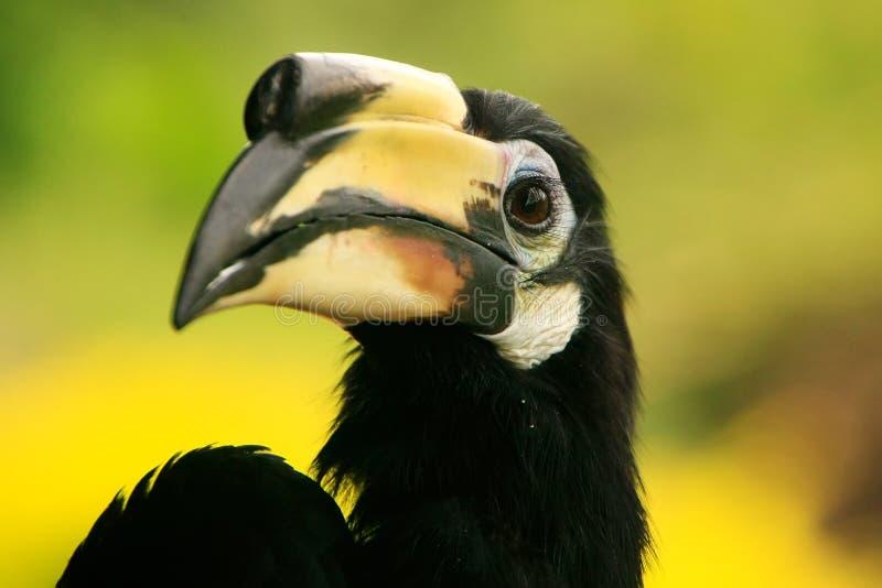 Orientalischer gescheckter Hornbill, Sepilok, Borneo, Malaysia lizenzfreie stockbilder