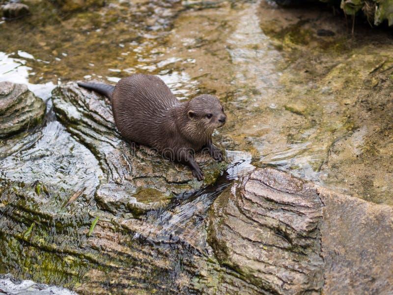 Orientalischer Klein-gekratzter Otter lizenzfreies stockfoto