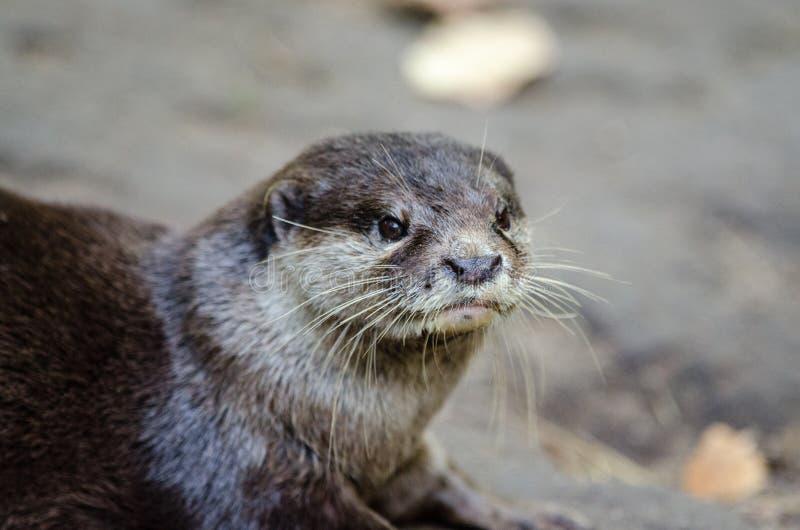 Orientalischer Klein-gekratzter Otter Kostenlose Öffentliche Domain Cc0 Bild