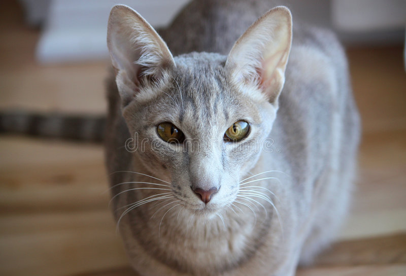 orientalisk katt royaltyfria bilder