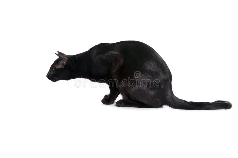 Orientalisk svart katt som isoleras över vit bakgrund royaltyfria bilder