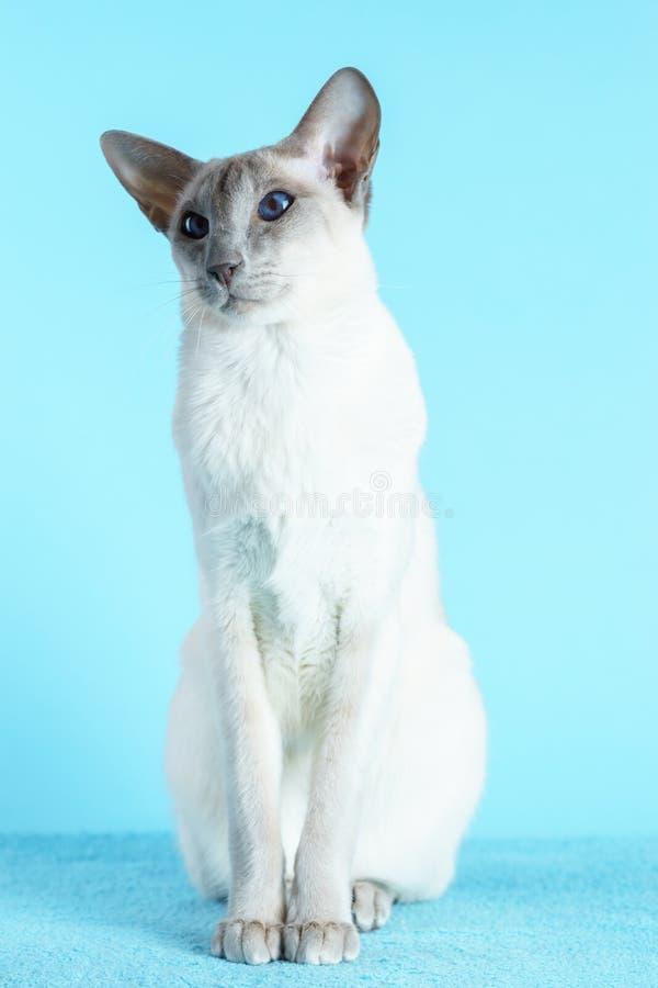 Orientaliska blåa ögon för siamese katt som sitter ljus - blå bakgrund royaltyfri bild