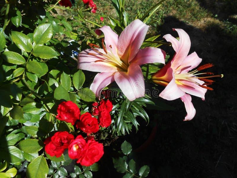 Orientaliska Liliumrosa färger arkivfoton