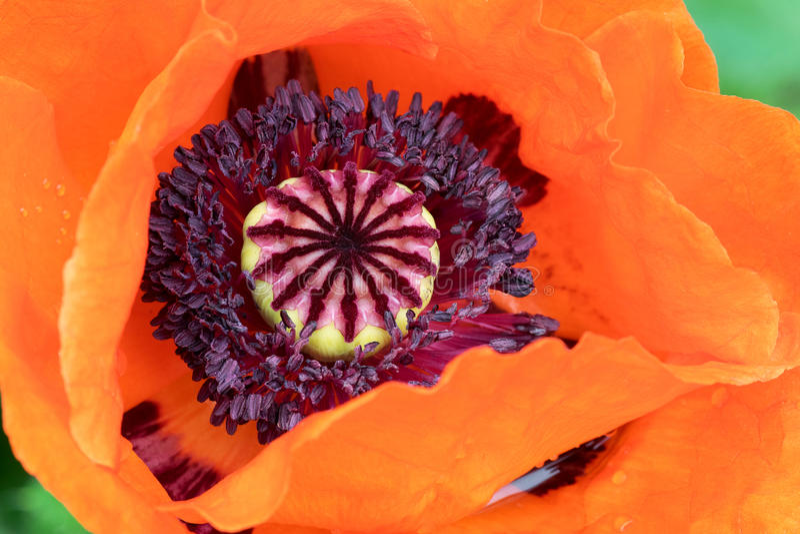 Orientaliska Poppy Closeup royaltyfria bilder