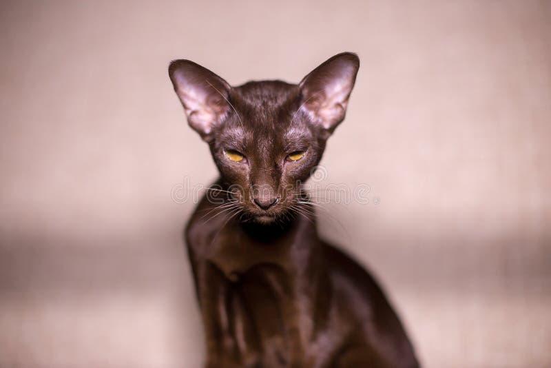 Orientaliskt kattslut upp, stående royaltyfri foto
