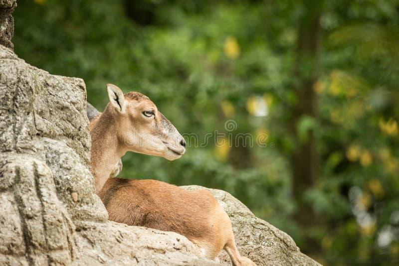 Orientalisorientalis die van mouflonovis rust op rotsen in DIERENTUIN Bazel, groene bladeren op achtergrond, leuk zoogdier, gehoo stock foto's
