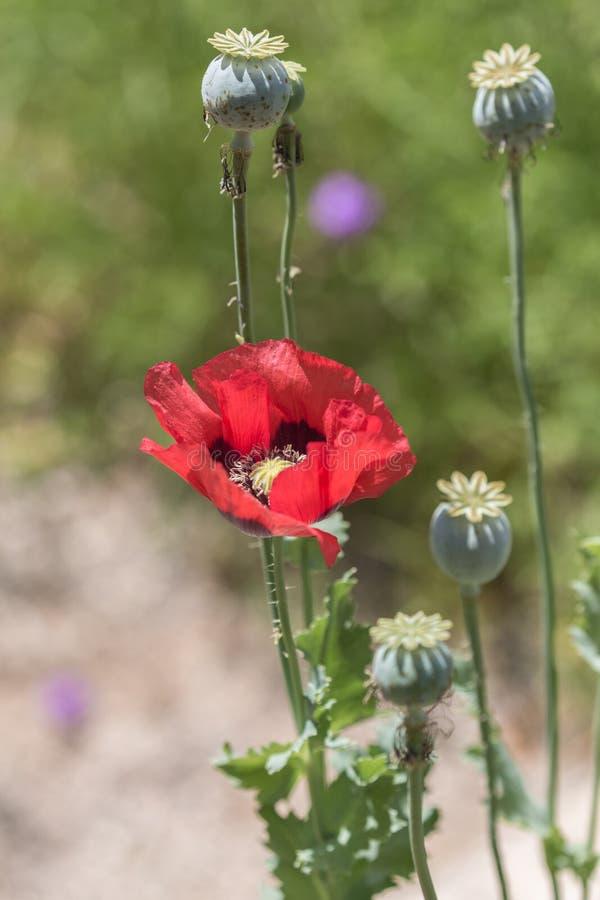 Orientalnego maczka kwiaty obraz stock