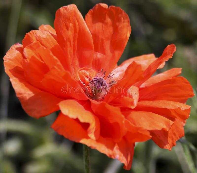 Orientalnego maczka Pomarańczowy orientale Papaver, lub obraz royalty free