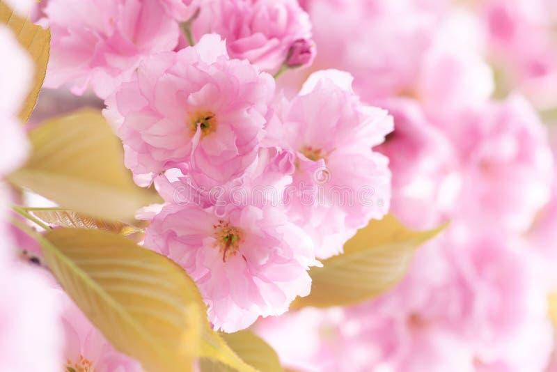 Orientalnej wiśni kwiaty obrazy royalty free