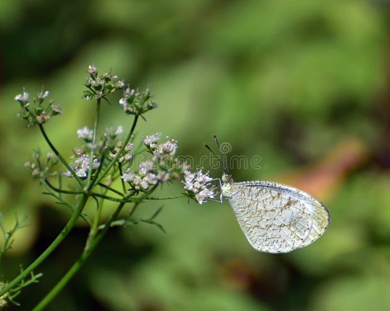 Orientalny dusza motyl obrazy stock