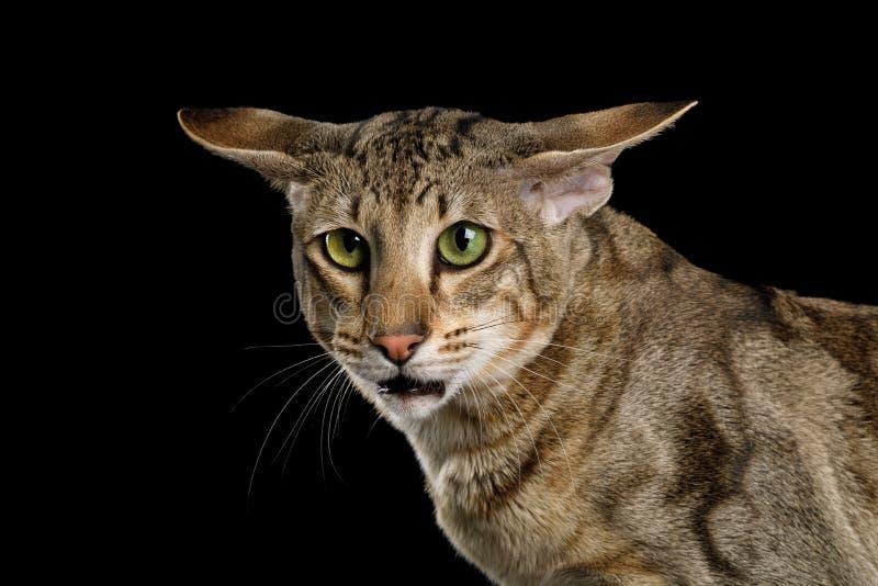 Orientalny kot Z Dużymi ucho na Czarnym Odosobnionym tle obrazy royalty free