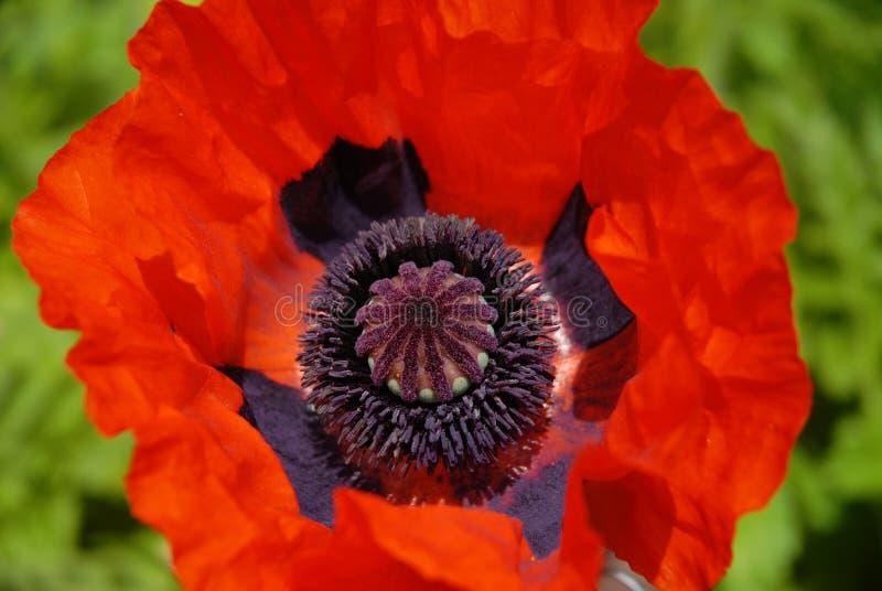 Orientalny maczek, zakończenie pojedynczy czerwony kwiat zdjęcia stock
