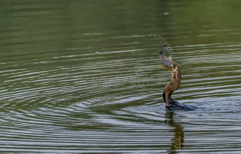 Orientalny Wężowy lub Indiański Wężowy - podrzucanie i łykanie ryba obraz royalty free