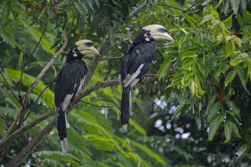 Oriented pied hornbill stock photography