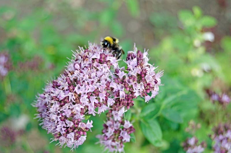 Origanum vulgare Oregano in der Blüte und in der Hummel stockbilder